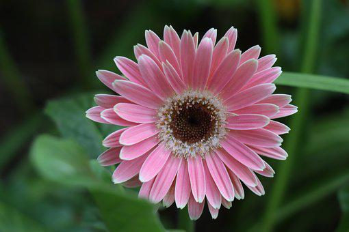 Gerbera, Flower, Pink, Bloom, Petals, Flora, Bright