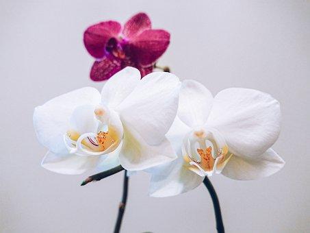 Flower, Orchid, Plant, Exotic, Orchids, Flora, Flowers