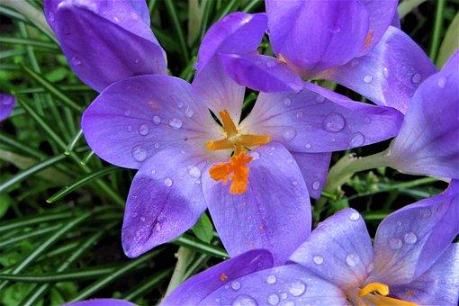 Crocus, Rain, Bolplant, Garden, Raindrop, Flower