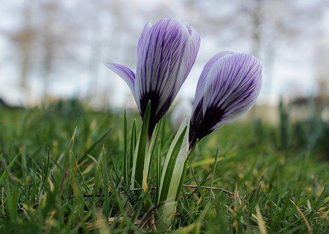 Crocus, Purple, Violet, Flower, Green, Grass, Spring
