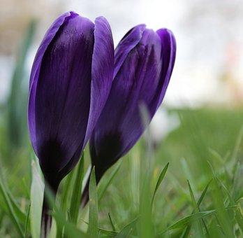 Crocus, Purple, Flower, Violet, Green, Grass, Spring