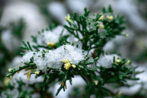 Winter, Plant, Snow, Greens, Botanica, Bush, Sprig