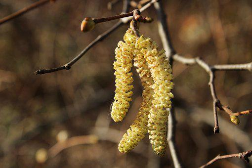 European Hazelnut, Branch, Bush, Garden, Hazel
