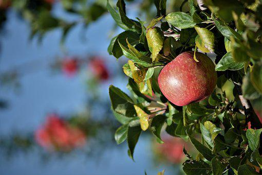 Apple, Orchard, Fruit, Ripe, Garden, Healthy, Autumn