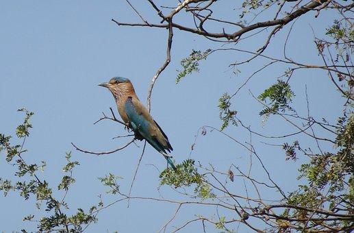 Bird, Roller, Indian Roller, Coracias Benghalensis