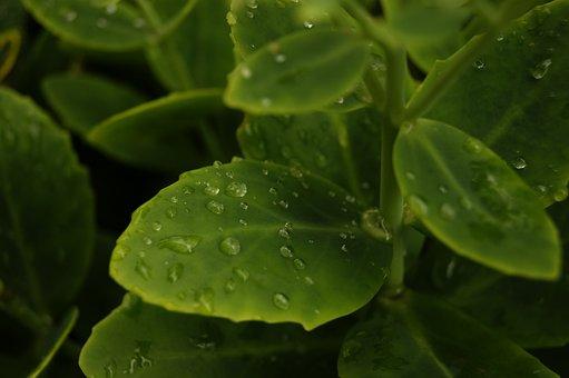 Drops, Rosa, Kropelkowo, Water, Macro, Rain, Wet, Flora