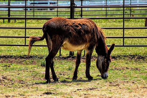 Donkey, Farm, Livestock, Animal, Mammal, Rural