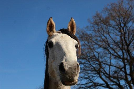 Horse, White Horse, Nature, Mare, Look, Mammals, White