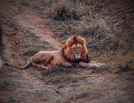 Lion, Animal, Safari, Wildlife, Zoo, Male, Nature