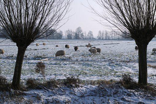 Winter, Pasture, Sheep, Snow, Landscape, Cold, Trees