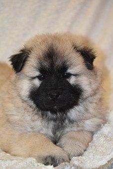 Puppy, Dog, Dog Eurasier, Pup, Doggy, Cute, Adorable