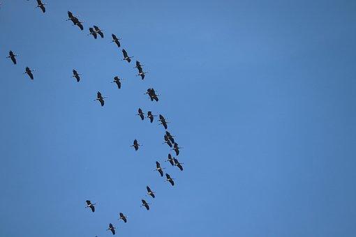 Cranes, Migratory Birds, Spring, Return, Flock Of Birds