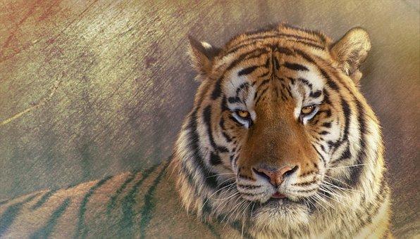 Siberisk Tiger, Siberian Tiger, The Amur Tiger