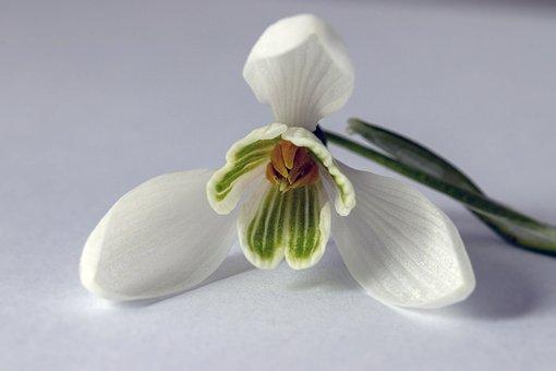 Snowdrop, Wildflower, White, Pollen, Botany, Outdoor