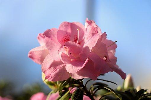Flower, Flowers, Bloom, Garden, Flora, Spring, Pink