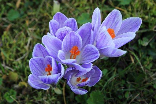 Crocus, Purple, Violet, Flower, Spring, Nature