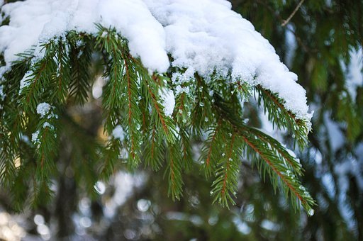 Spruce, Branch, Snow, Needles, Tree, Forest, Plant