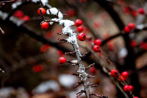 Berry, Winter, Snow, Red, Tree, Nature, Bush, Sprig