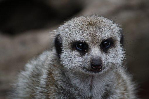 Meerkat, Animal, Nature, Isolated, Mammal, Vigilant