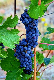 Wine, Grapes, Vine, Vineyard, Fruit, Winegrowing
