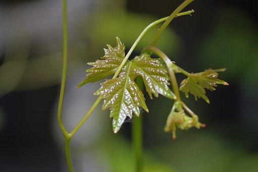 Wine, Leaves, Leaf, Plant, Climber Plant, Vine