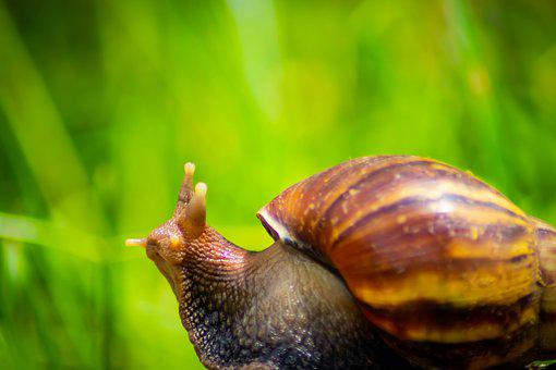 Snail, White, African, Giant, Mollusk, Land, Gliding