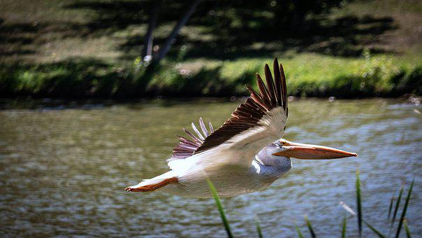 Pelican, Birds, Nature, Wildlife, Animal, Wing, Feather