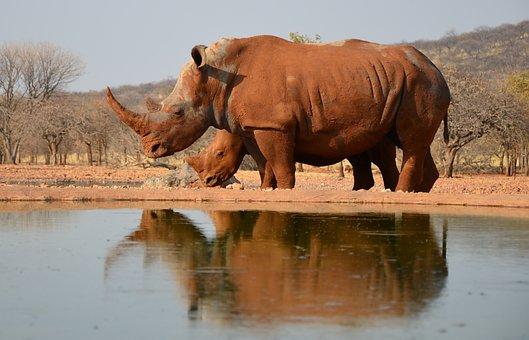 Rhino, Africa, Animal, Namibia, Endangered