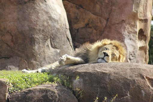 Lion, Disney, Animal, Travel, Disneyland