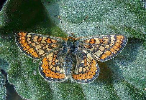 Butterfly, Marsh-fritillary, Summer, Wetlands, Antenna