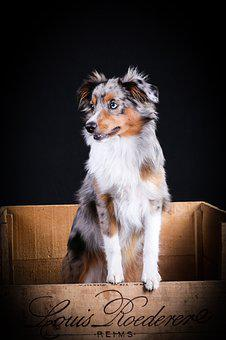 Australian Sheperd, Dog, Cute, Animals, Pet, Portrait