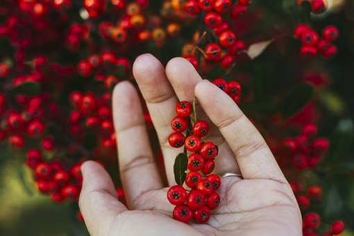 Agricultural, Agriculture, Berries, Berry, Botanical