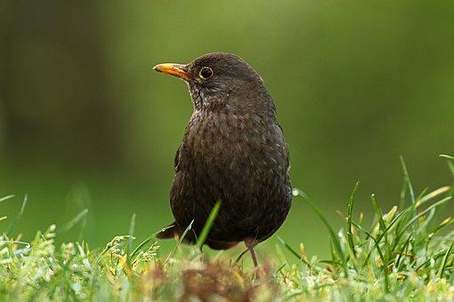 Merlo, Female, Bird, Nature
