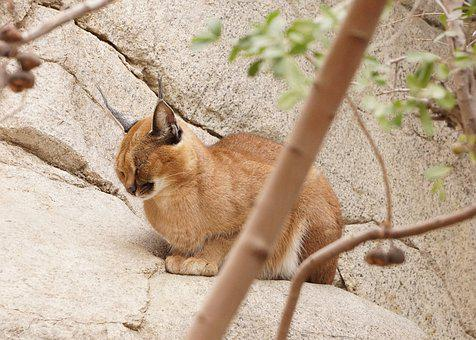 Caracal, Cat, Wild, Animal, Ears, Feline, Wildlife