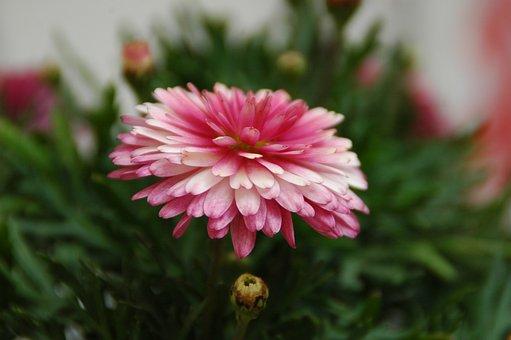 Chrysanthemum, Chrysanthemum Pink