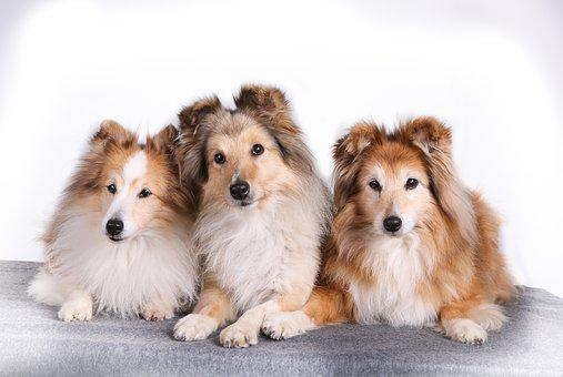 Shetland Sheepdog, Pet, Dog, Portrait, Cute, Pets, Dogs