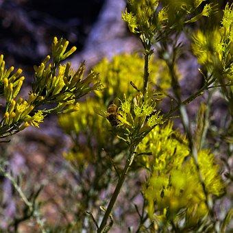 Bee And Rabbitbrush, Insect, Rabbitbrush, Desert