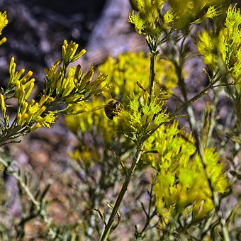 Bee In Rabbitbrush, Insect, Rabbitbrush, Desert