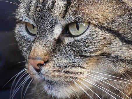 Cat, Dachowiec, Kitten, Animals, Fur, Portrait, Cats
