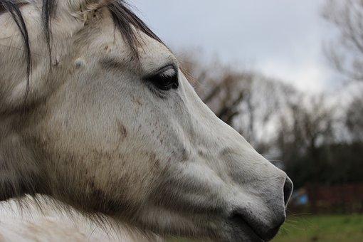 Horses, Horse, Animals, Nature, Arabian Horse, Close