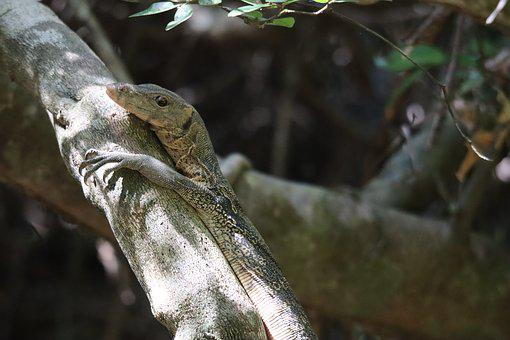 Monitor, Lizard, Reptile, Scaly, Iguana, Nature, Scale