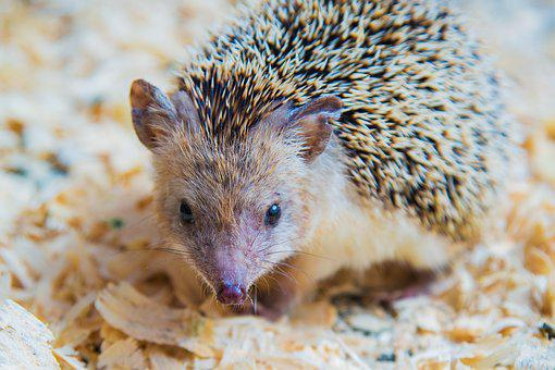 Hedgehog, Animal, Cute, Large, Nature, Mammal