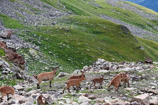 Goat, Mountain, Horn, Nature, Animal, Wildlife