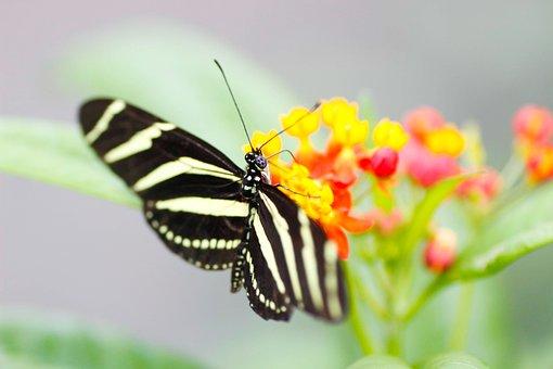 Zebra Longwing, Butterfly, Nature, Macro