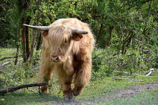 Cow, Mammal, Farm, Cattle, Nature, Field, Animal, Horn