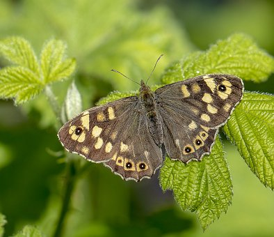 Butterfly, Speckled-wood, Nature, Insect, Spring