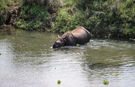 One Horned Rhino, National Park, Nepal, Ride, Rhino