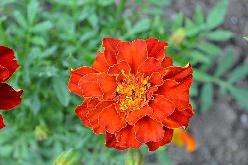 Red, Flower, Blossom, Bloom, Poppy, Garden, Love, Roses