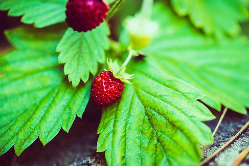 Strawberry, Wild Strawberry, Berry, Red, Fruit, Nature