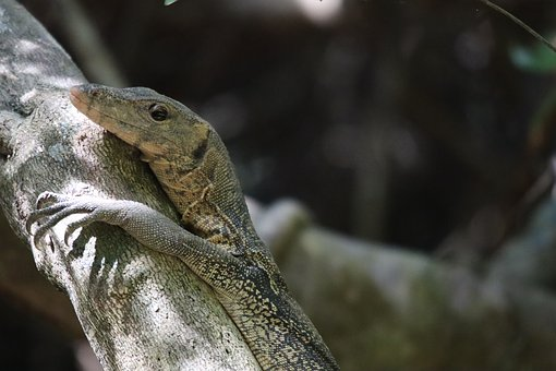 Monitor, Lizard, Reptile, Scaly, Close Up, Creature